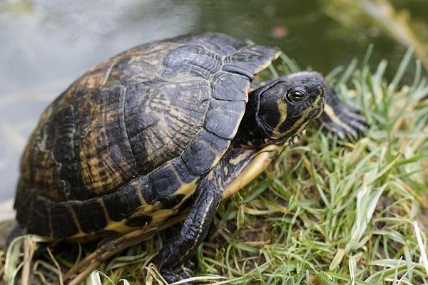 Khi nằm mơ thấy rùa mang đến nhiều điềm lành