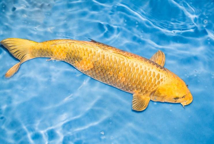 Nằm mơ thấy cá chép vàng là dự báo vô cùng chính xác về may mắn trong tương lai